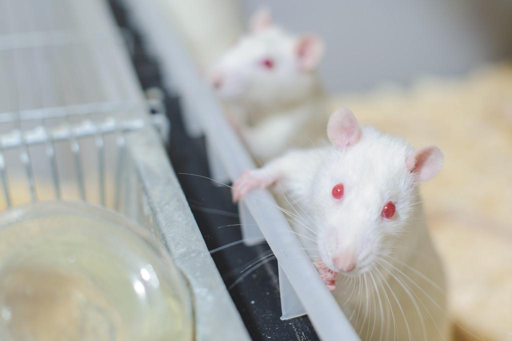 rats-3